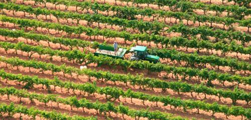 Treballador realitzant la verema a les vinyes de la finca