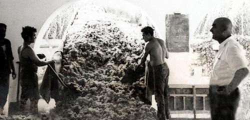 Homes treballant la verema a la finca Can Marti de manera tradicional